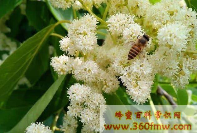 中国蜜粉源植物 蜜粉原源植物有什么