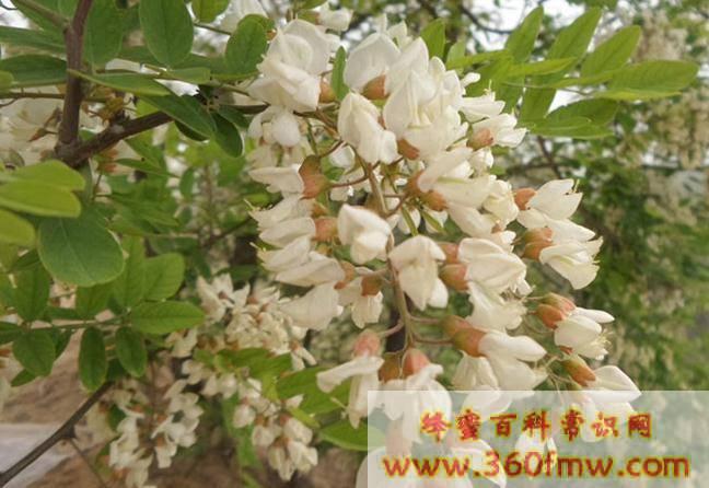 我国木本蜜源植物资源利用现状及建议 木本蜜源植物有哪些