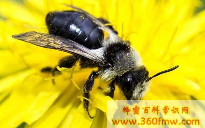 蜂蜜品种之新疆黑蜂  伊犁黑蜂蜜
