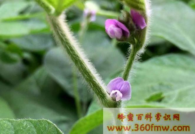 大豆花在什么时间开花 大豆花什么时候开花