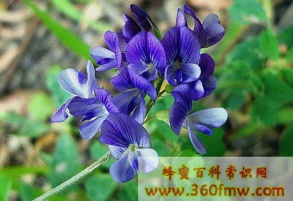 紫苜蓿什么时候开花