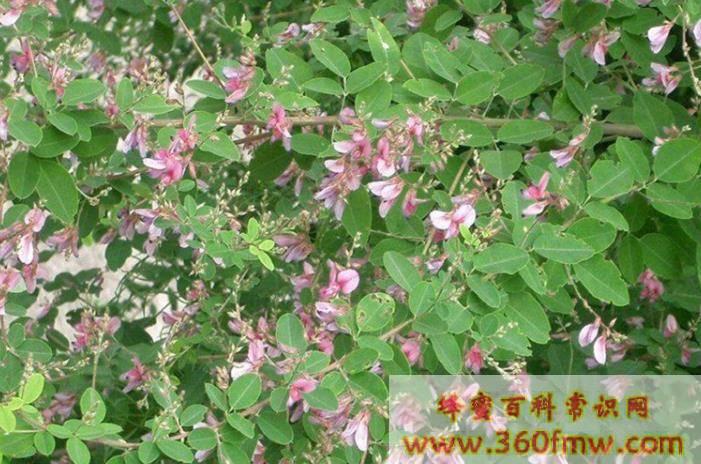 蜜源植物有哪些 四季蜜源植物