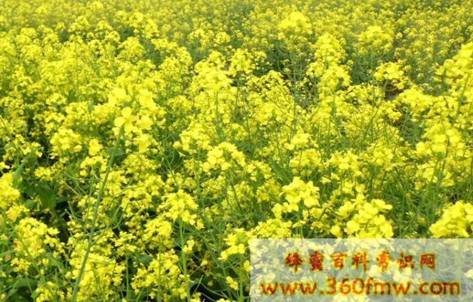 四川蜜源植物有哪些?四川蜂产业