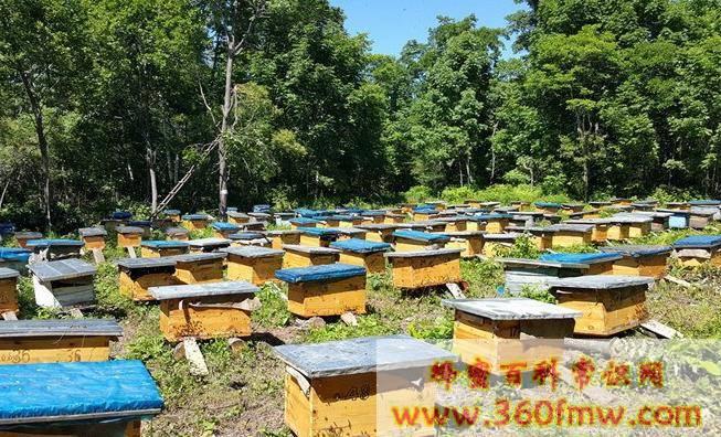 蜜蜂养殖管理技术 蜜蜂夏季管理技术