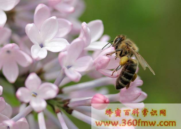 蜂蜜怎样来的?蜂蜜怎样来的?