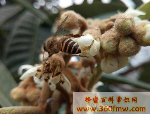 枇杷蜂蜜采收时间?枇杷开花结果的时间