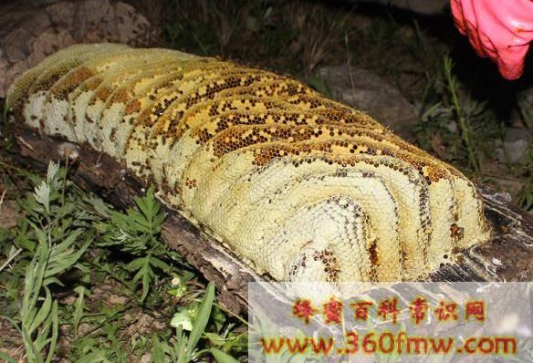 意蜂蜜土蜂蜜的区别_意蜂蜜为什么比土蜂蜜便宜