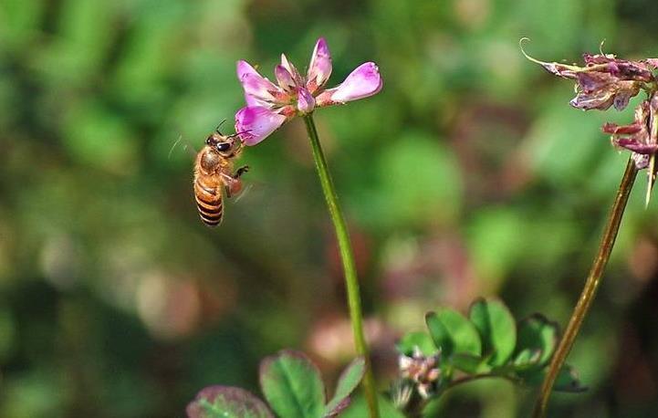 紫云英什么时候开花