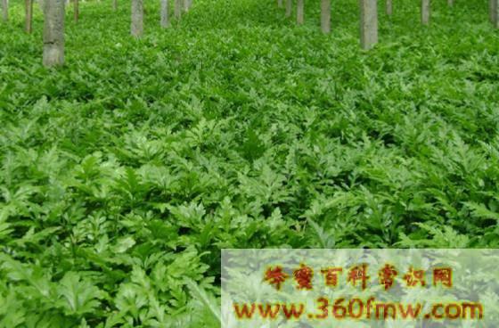 土黄连蜜的作用与功效与作用