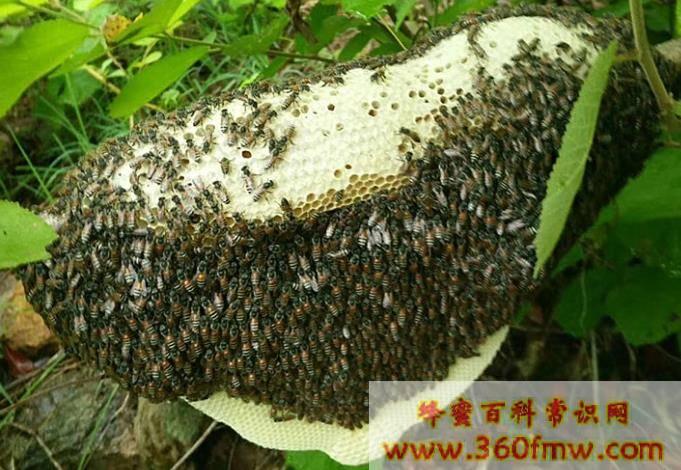小挂蜂是什么蜂