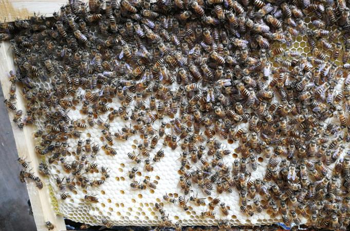 养蜂蜜蜂养殖技术:养蜂真有这么难?
