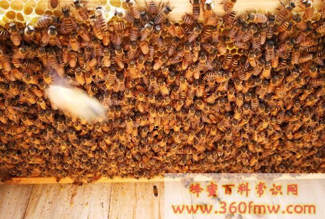 意蜂盗蜜造成中蜂养殖户损失 意蜂养蜂人被判赔偿