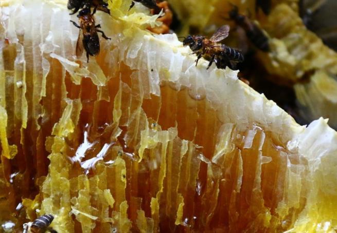 云南野生岩蜂蜜知识大全