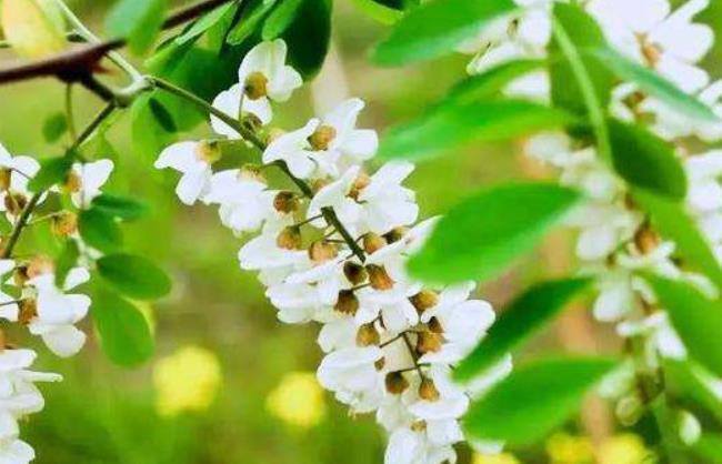 河南省城市主要蜜源植物:槐树蜜源