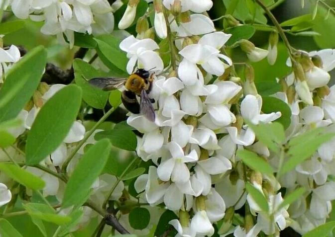 洋槐蜂蜜蜜源植物洋槐树花几月开?洋槐树在中国的分布
