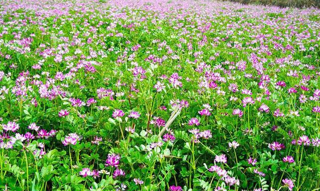 紫云英蜂蜜蜜源植物紫云英什么时候开花?紫云英分布在哪个地区?