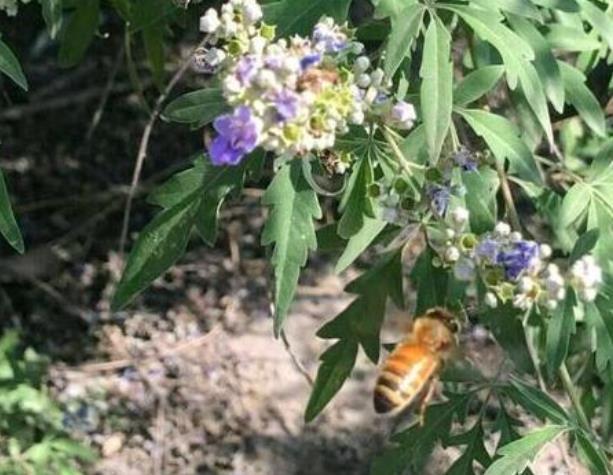 荆条蜜蜜源植物荆条花什么时候开花流蜜?荆条花的分布