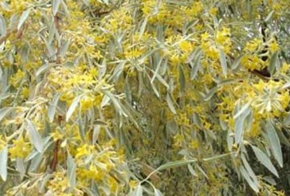 沙枣蜂蜜蜜源植物沙枣什么时候开花?沙枣来源与分布