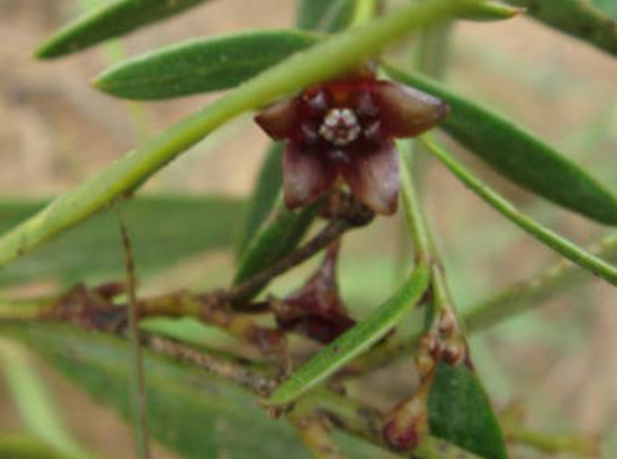 老瓜头蜂蜜蜜源植物老瓜头什么时候开花?老瓜头分布