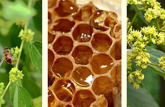 枣花蜂蜜蜜源植物枣树几月开花?枣树分布在哪里