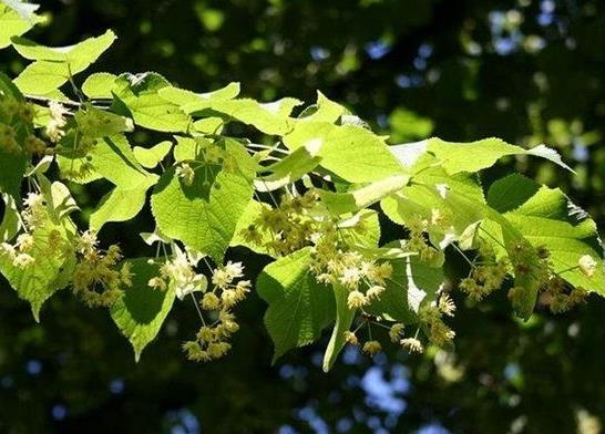 椴树蜂蜜蜜源植物椴树什么时候开花