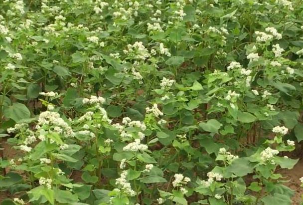 荞麦蜂蜜蜜源植物荞麦啥时候开花?荞麦主要分布在哪里