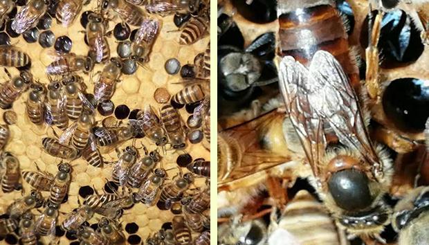 如何防止蜂群的春衰?防止蜂群的春衰方法