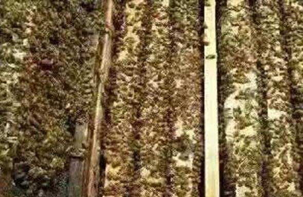 防止蜂群的春衰方法