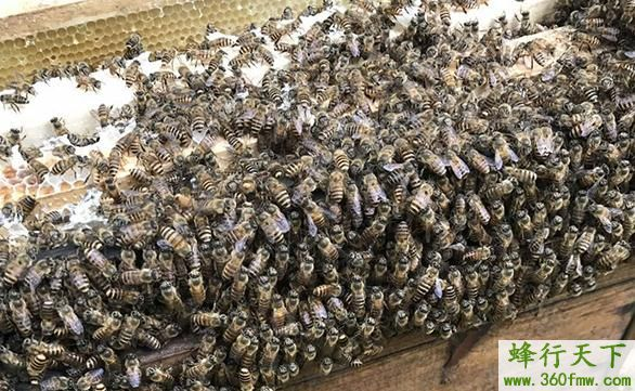蜜蜂喂什么营养最好?养殖蜜蜂营养补给