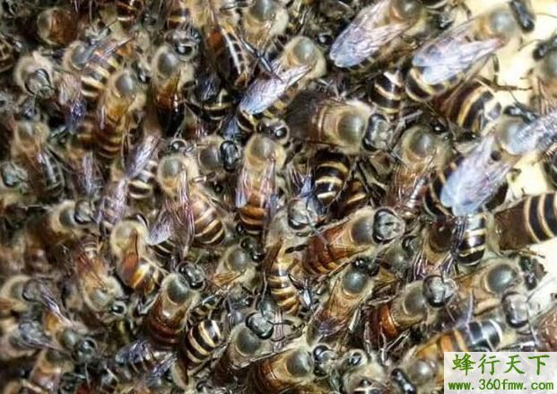 蜜蜂阿坝王的优缺点