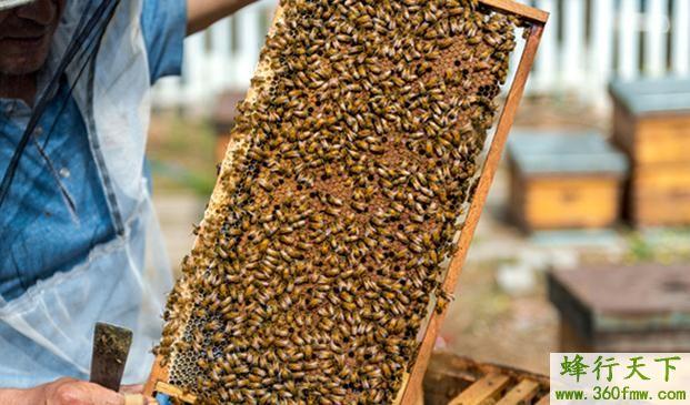 蜜蜂的营养