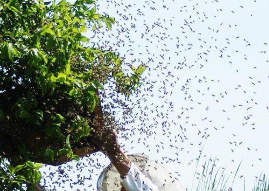 引诱蜜蜂最快的方法 用什么诱蜂最快