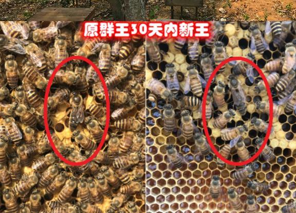 怎样储备蜜蜂蜂王 蜂王储备技术
