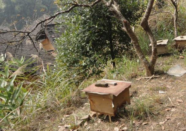 野蜂怎么样收为家养